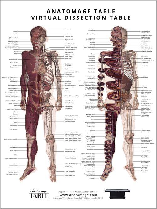 73 Best Anatomage Medical Images On Pinterest Medical Students