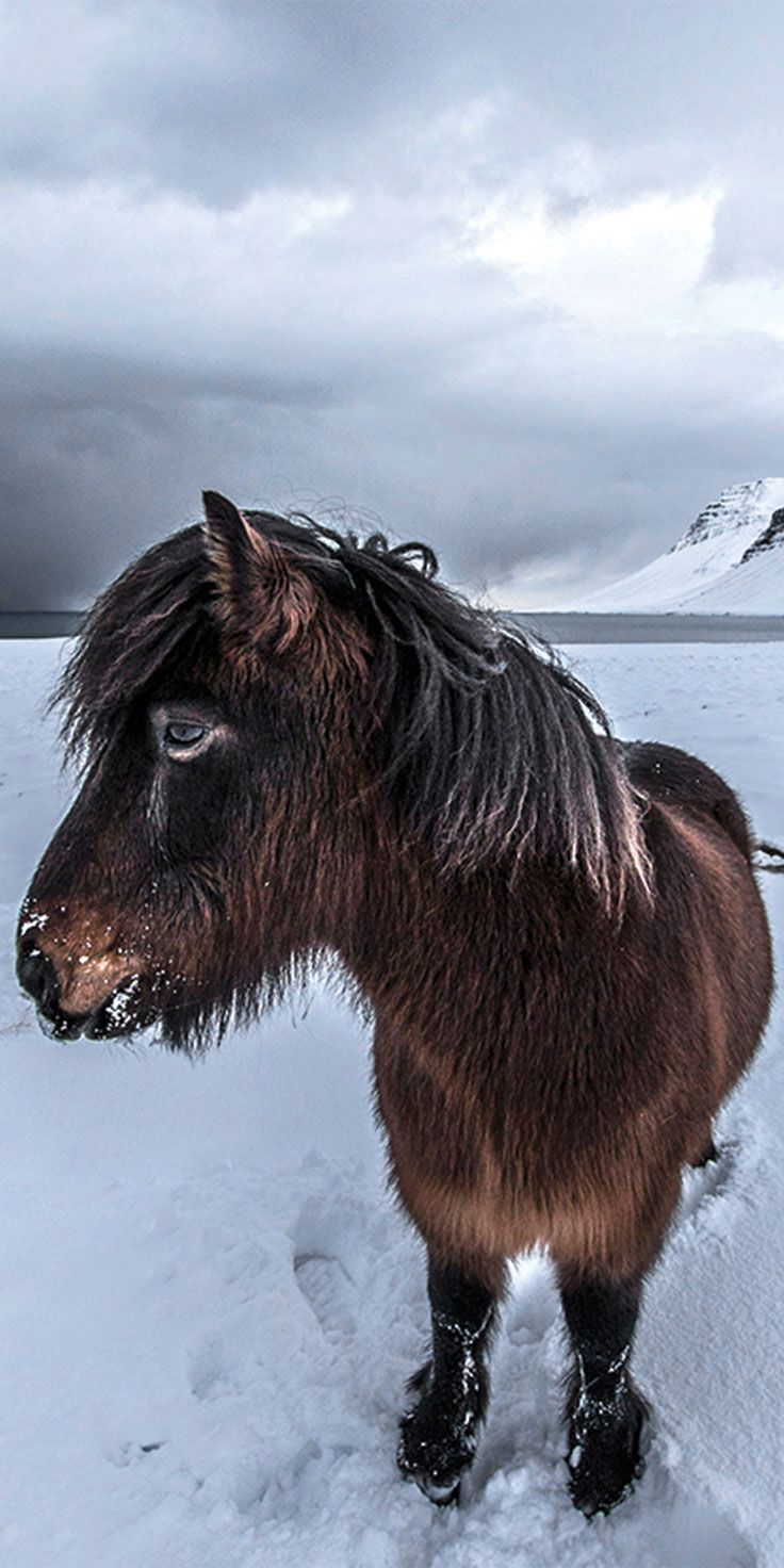 Icelandic Horse showing us his best angle - by Sean Scott