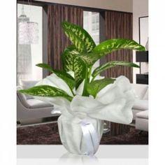 Balıkesir Çiçek Balıkesir Buse Çiçek Farkıyla Dieffenbachia Tropic Snow  (Küçük Boy 40-50 cm)          Büyük yaprakları ve kolay büyümesi ile saksı çiçekleri arasında çok tutulan Dieffenbachia Trpic Snow her evin ve ofis de çok kolay büyüyen ve bakım olarak çok kolay bir bitki.
