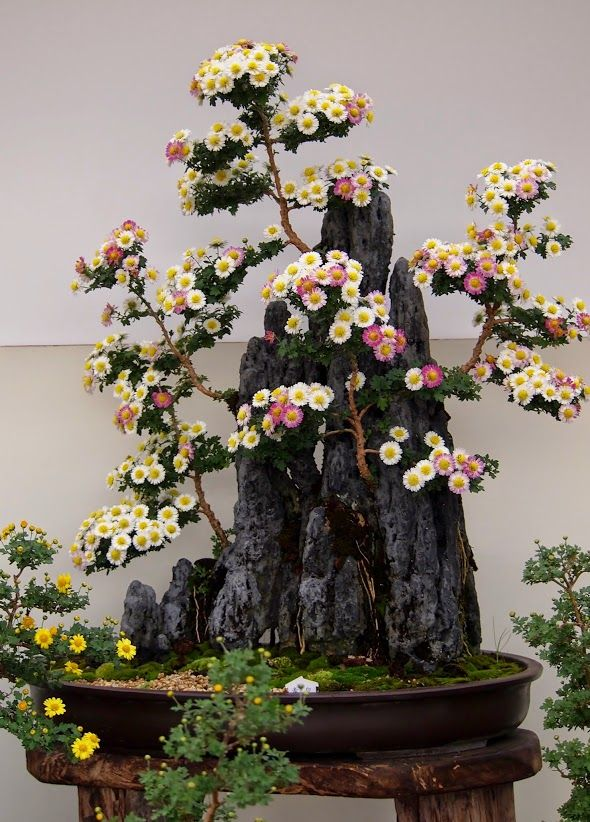 "Mrinalini Mazumder ""KIKU BONSAI IN FULL BLOSSOMS ""!!--- Shrubs sitting on the top of the rocky mountains letting their roots down to hold on the ground. This magnificent piece of art created by an Awarded Artist for his full corner in the Chrysathemum Exhibition 2014 held in Himeji."