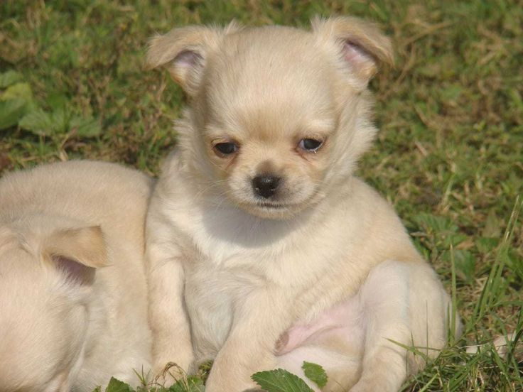 Chihuahua puppies for sale price in india mr n mrs pet