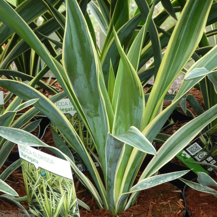 Buy Variegated Yucca Plants Gloriosa Variegata 4 Litre