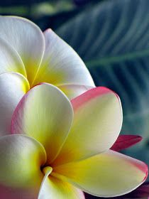 Plumeria..The Flower of Maui! I miss seeing them and smelling them!