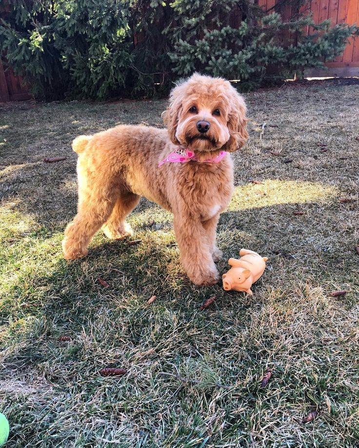 Cockapoo Puppies For Sale | Connecticut USA