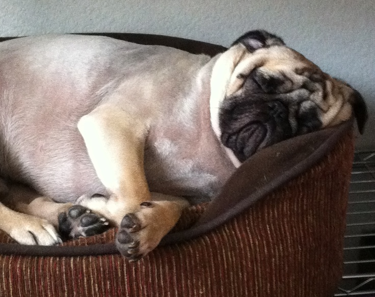 shaved pug 1000 images about pugs on pinterest 5595