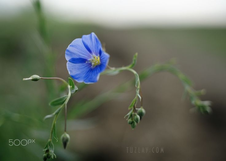 """Linum Flower on the edge of the road - From the series """"Vegetation of the Taman Peninsula"""". (2017)"""
