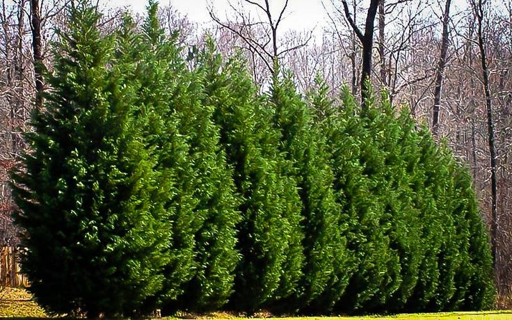 Fast Growing Tree Information Evergreen Conifer Tree