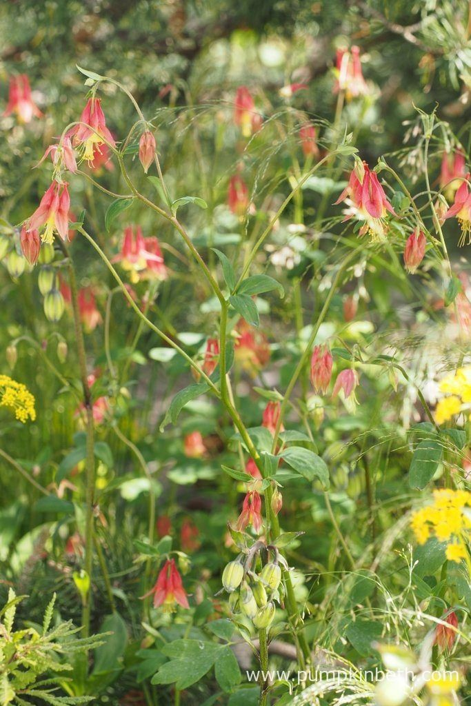 Aquilegia canadensis, pictured on the Royal Bank of Canada Garden at the RHS Chelsea Flower Show 2017.