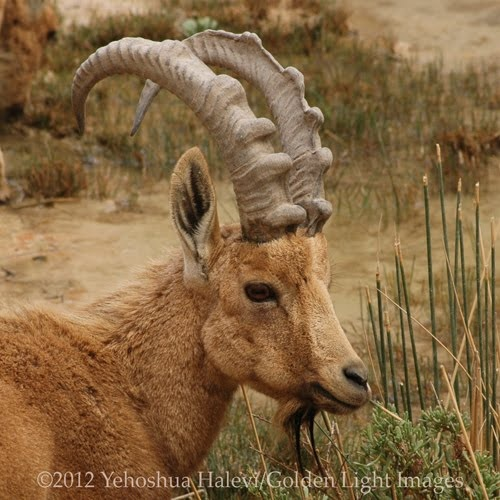 Ibex in the Negev Desert, Israel, by Yehoshua Halevi