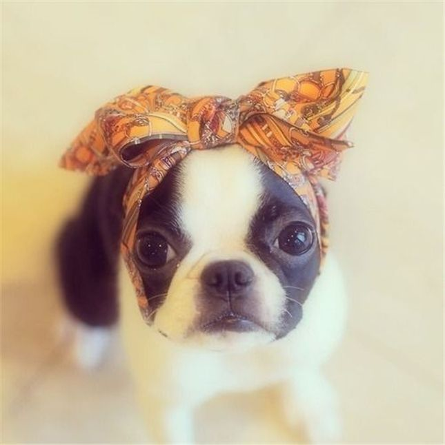 Boston Terrier so funny