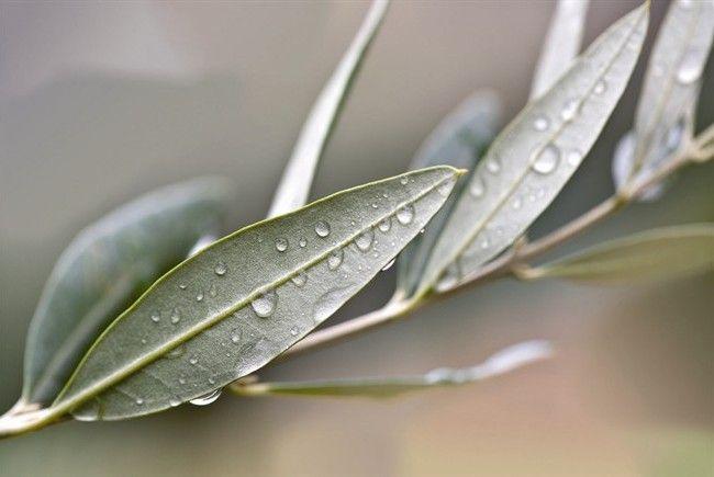 foglie di ulivo.