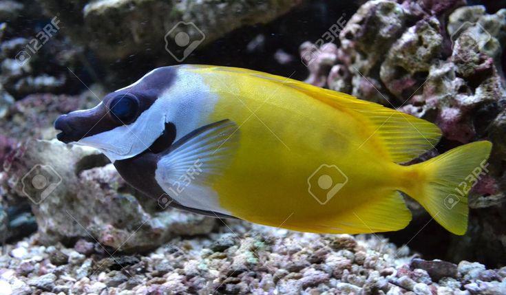 Aquarium Saltwater Fish Pangasius, Fish Fox Stock Photo, Picture ...