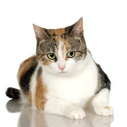 Facts about Calico Cats