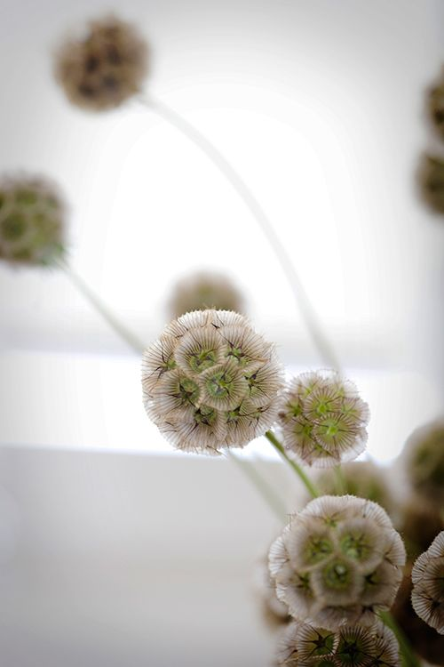 Scabiosa seed pod - textural element - represents seasonal, especially if we also use the flowers.