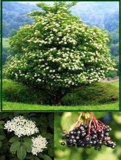 Simbol al vieţii şi al morţii, al unor forţe supranaturale atât benefice, cât şi malefice, arbustul de soc ( cu numele ştiinţific Sambucus L...