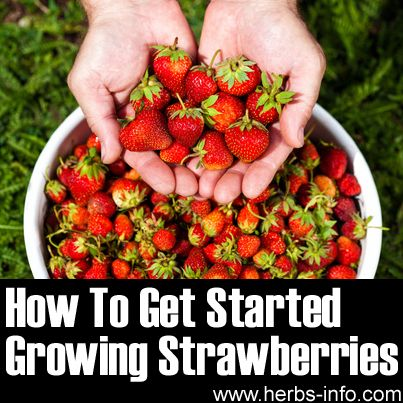 How To Get Started Growing Your Own Strawberries :D►►http://herbs-info.com/blog/how-to-get-started-growing-strawberries/?i=p