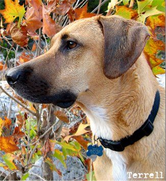 Terrell, the American Black Mouth Cur at 2 years old