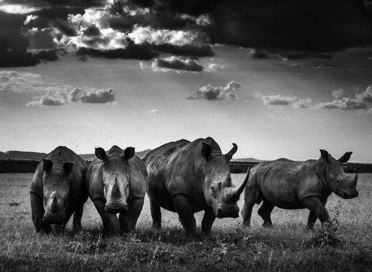 Драматический черно-белые фотографии африканской дикой природы Лорана Baheux | Скучно Panda