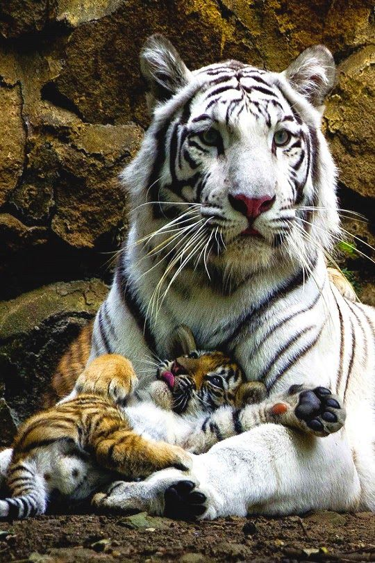 "White Tiger - ""A mother's hug last long after she lets go."" - Big Cats"