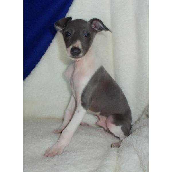 Vinnie. A cute male Italian Greyhound puppy for sale in Dimock, SD 57331.