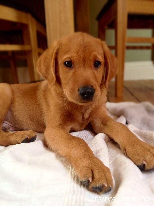 labrador retrievers labradorretriever labradorchocolate