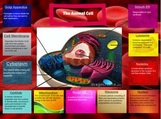 An animal cell is a form of eukaryotic cell that makes up many tissues in animals. Animal cells are distinct from other eukaryotes, most notably plant cells, as they lack cell walls and chloroplasts. They also have smaller vacuoles. Due to the lack of a cell wall, animal cells can adopt a variety of shapes. A phagocytic cell can even engulf other structures. There are many different types of cell. For instance, there are approximately 210 distinct cell types in the adult human body…