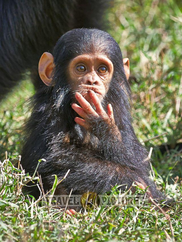 Newborn Common Chimpanzee, Pan troglodytes, Laikipia, Sweetwaters Privat RESERVE, KENYA, Africa  /  Gemeiner Schimpanse, Affenbaby, Pan troglodytes, LAIKIPIA, Sweetwaters Privat RESERVE, KENIA, Afrika    / copyright Juergen Ritterbach
