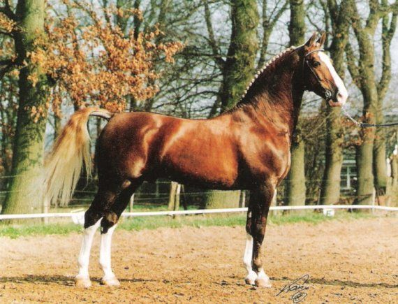 Gelderlander stallion Bazuin. Gelderlanders are from Gelderland, Netherlands. They were created by crossing local mares with imported stallions like Andalusian, Norfolk Roadsters and Neapolitans. Later also Oldenburgs, Hackneys and TB's were crossed. The modern Gelderlander is a showy driving horse with powerful trot and also a good jumper. They're usually chestnuts with lots of white on legs and head but can also be bay, black or gray. Also few tobianos exist.