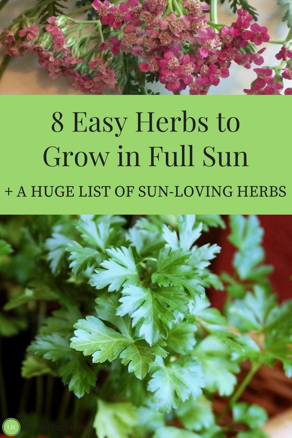 8 Easy Herbs To Grow In Full Sun Easy Herbs To Grow Best Herbs