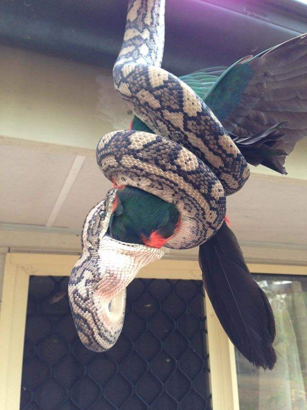 Meanwhile in Australia... | Look At These Terrifying Photos Of A Python Eating A Parrot Whole