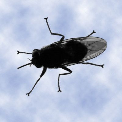 Which disease does tsetse fly transmit? Sleeping sickness! There are 23 species of tsetse flies, that inhabit much of mid-continental Africa between the Sahara and the Kalahari deserts. The tsetse fly serves as both a host and vector for the trypanosome parasites