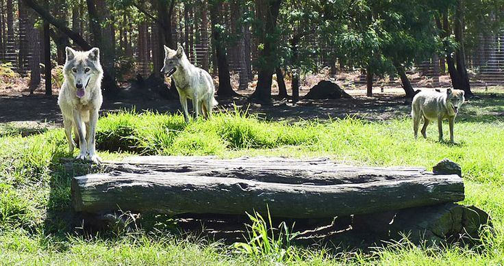 One of the packs of the almost 40 wolves at the Tsitsikamma Wolf Sanctuary.  Photo: Tania Thompson Poole