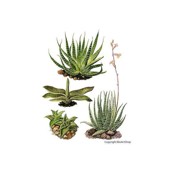 cactuses IV.