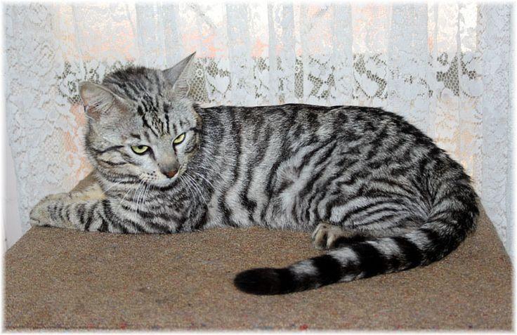 Bengal Cat Breeders Uk Sbt