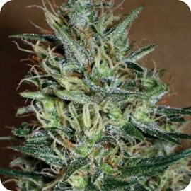 Amnesia Mistery - strain - Positronic Seeds | Cannapedia