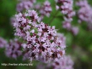 Herbár, bylinkáreň, popis rastlín | liečivé, známe aj neznáme rastliny, byliny