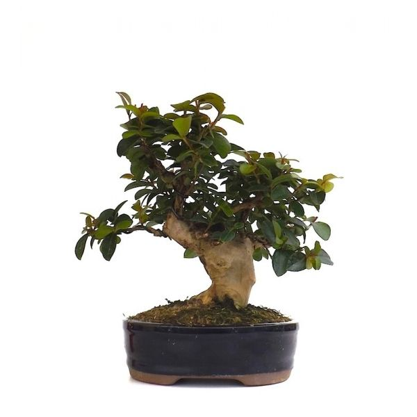 1000 images about bonsai on pinterest acer palmatum bonsai ficus and bonsai trees. Black Bedroom Furniture Sets. Home Design Ideas
