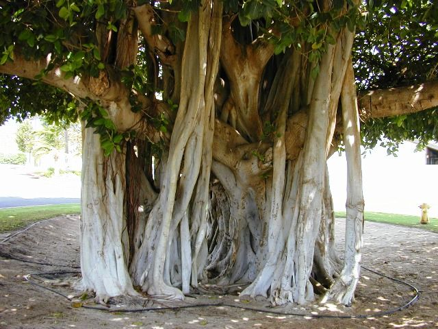 The Banyan Tree http://www.ecoglobalsociety.com/magnificent-trees/