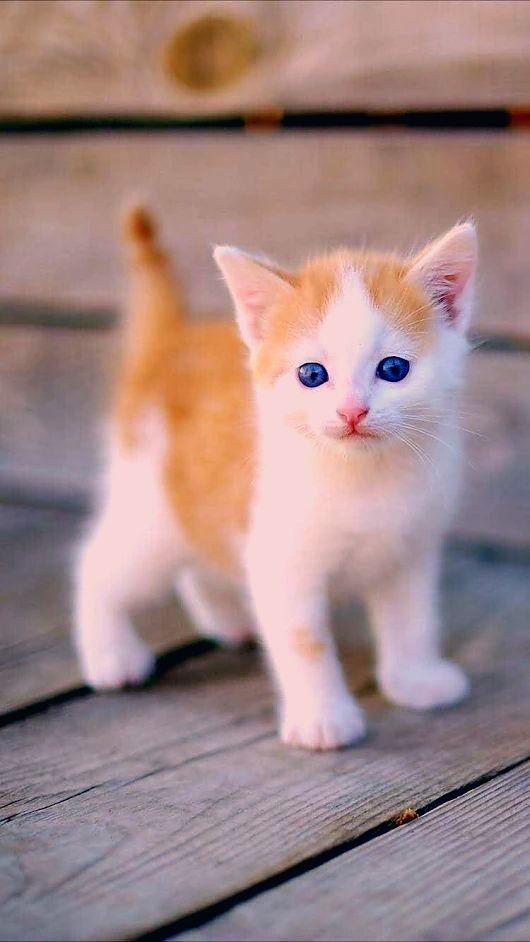 19 Munchkin Katze Bilder Hund Und Katze Bilder Katze Katzen Hund Katze Meowie Bilder Hund In 2020 Kittens Cutest Cute Baby Animals Cute Cats