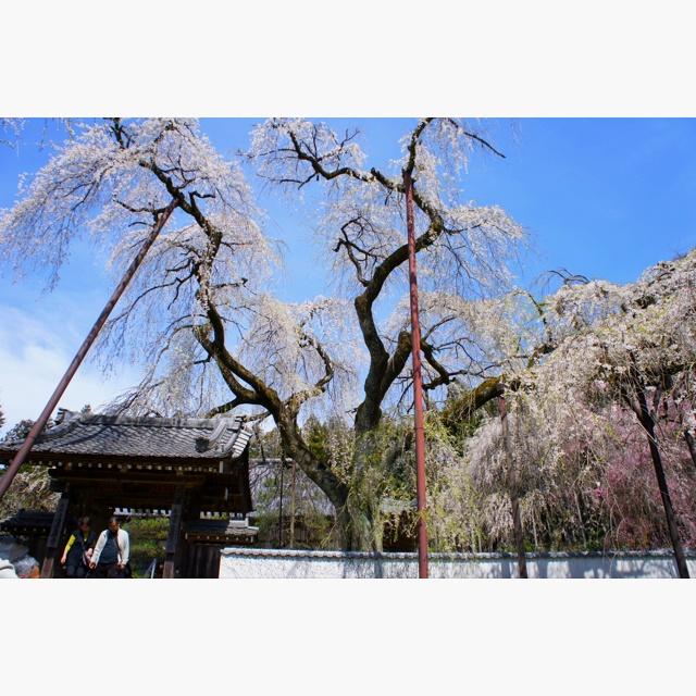 """Seiunji"" temple  Weeping cherry 'SAKURA'"