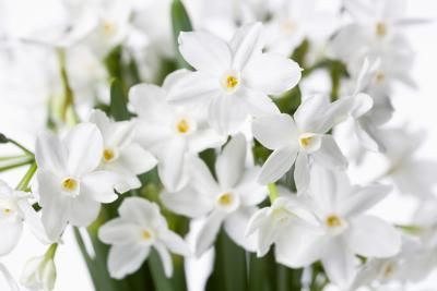 Paperwhites (Narcissus papyraceus) resemble daffodils, but feature pure white flowers. Unlike other narcissus varieties, paperwhites can't tolerate cold weather and don't require a period of ...