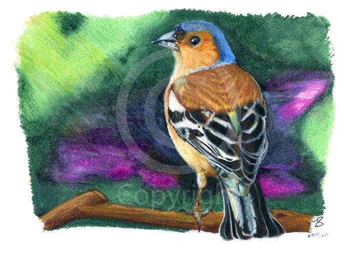 Chaffinch, Bluebell Haze, watercolour pencil drawing - A colourful looking male Chaffinch. Hand-drawn as part of my British Garden Birds collection, I created this artwork using watercolour pencils. This drawing was created on watercolour paper using Derwent watercolour pencils.