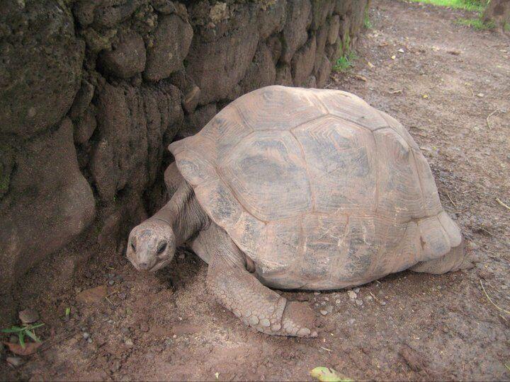 Giant tortoise, Mauritius
