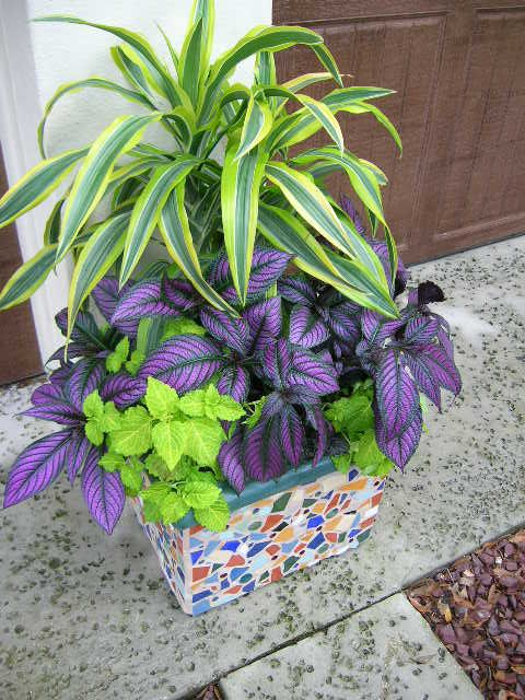 "Gorgeous purple Persian shield plants with variegated dracaena (""corn"" plant) make a stunning combo."