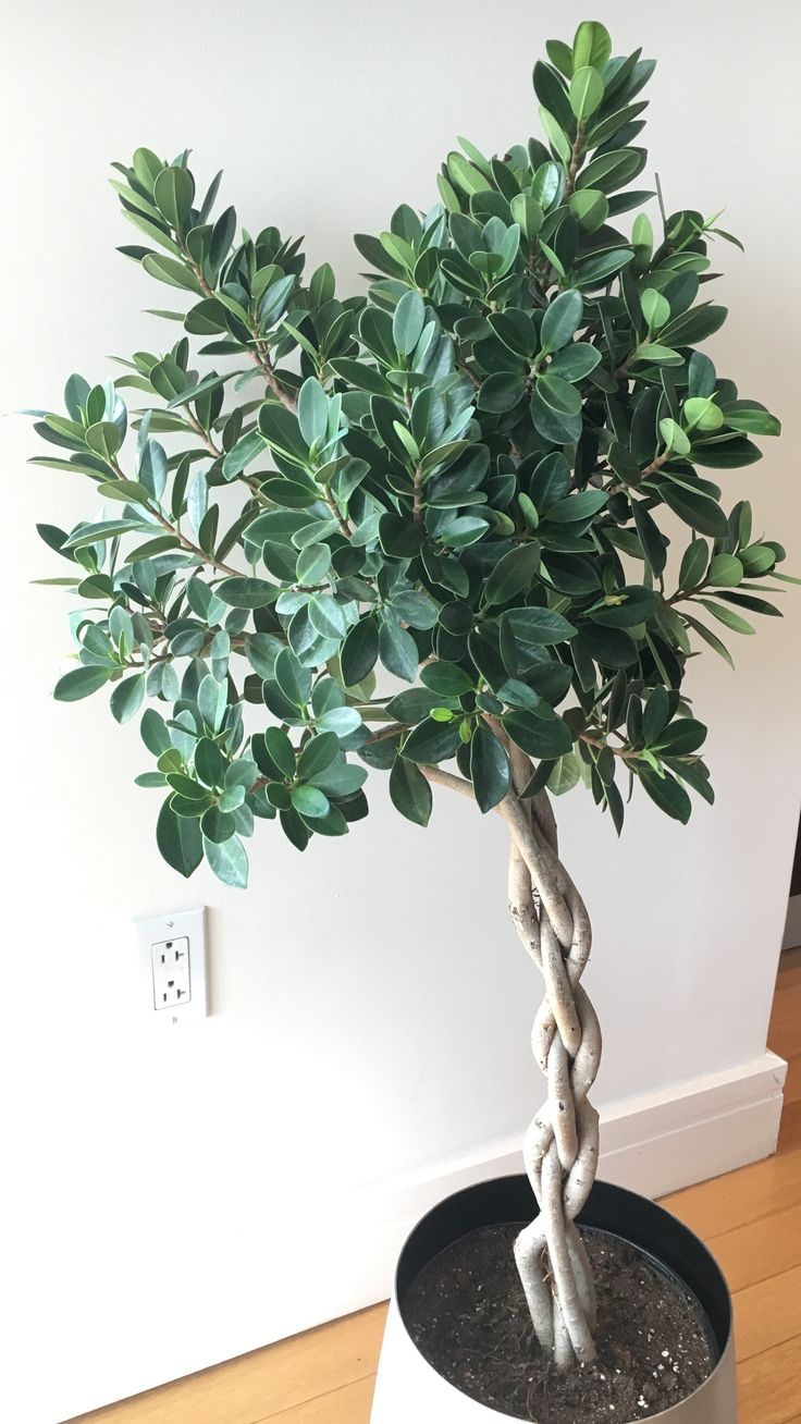 Braided Green Island Ficus in my home. A full sun easy care plant.