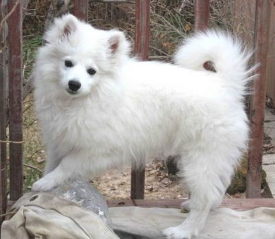 American Eskimo Puppy... I think I need one of these!  Like Kevin from The Proposal haha