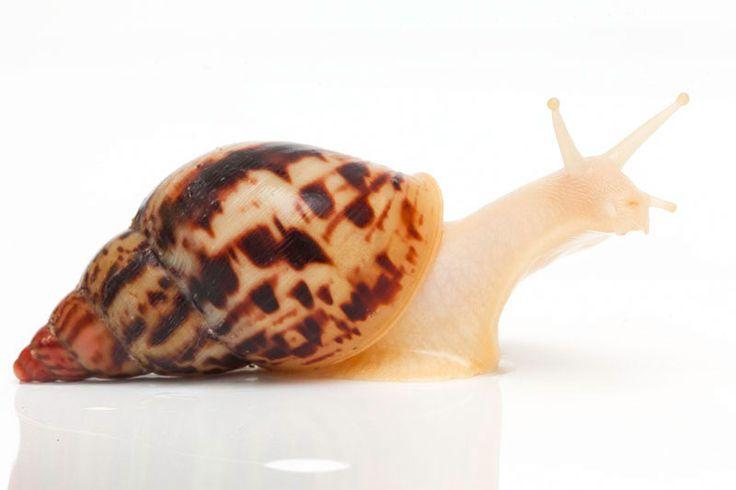 Lissachatina albopicta x L. fulica albino body