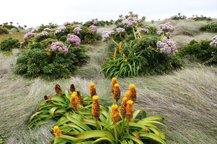 Ross lily and Anisome latifolia on Enderby Island