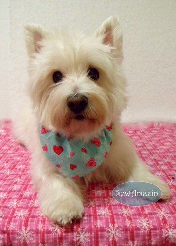 64 best images about breed standards on pinterest standard schnauzer poodles and dog show - Imperial westies ...