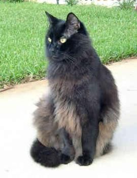 chantilly tiffany cat - This was the breed of cat that Tafferdina was.